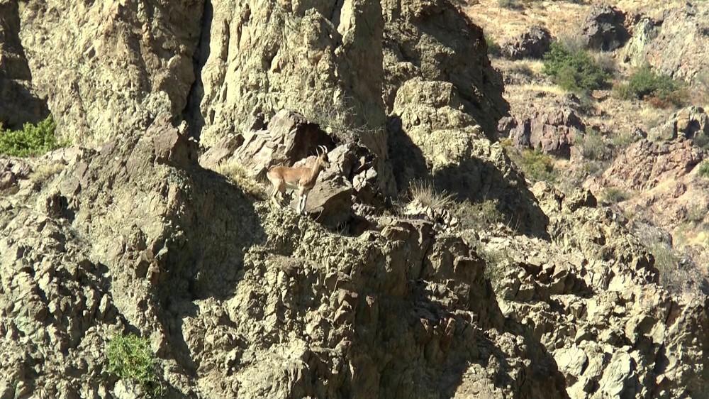 Dağ keçileri yoldan geçen sürücülerin ilgi odağı oldu