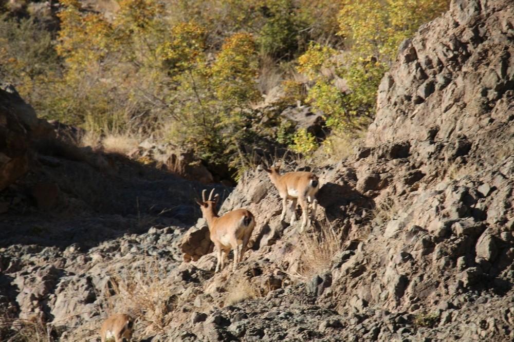Yol kenarındaki anne ve yavru yaban keçileri ilgi odağı oldu