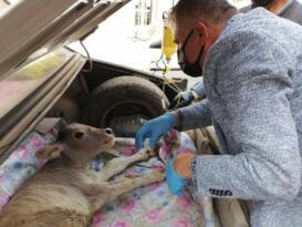 Buzağısını otomobille veterinere yetiştirdi