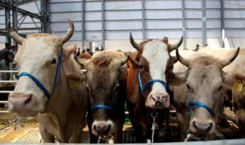 Bayram öncesi Avrupa'nın en büyük canlı hayvan pazarında hareketlilik arttı